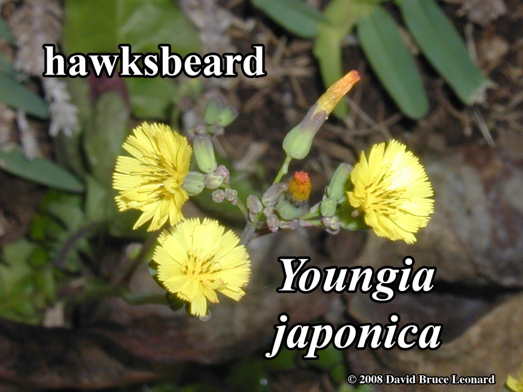 Youngia_japonica_02